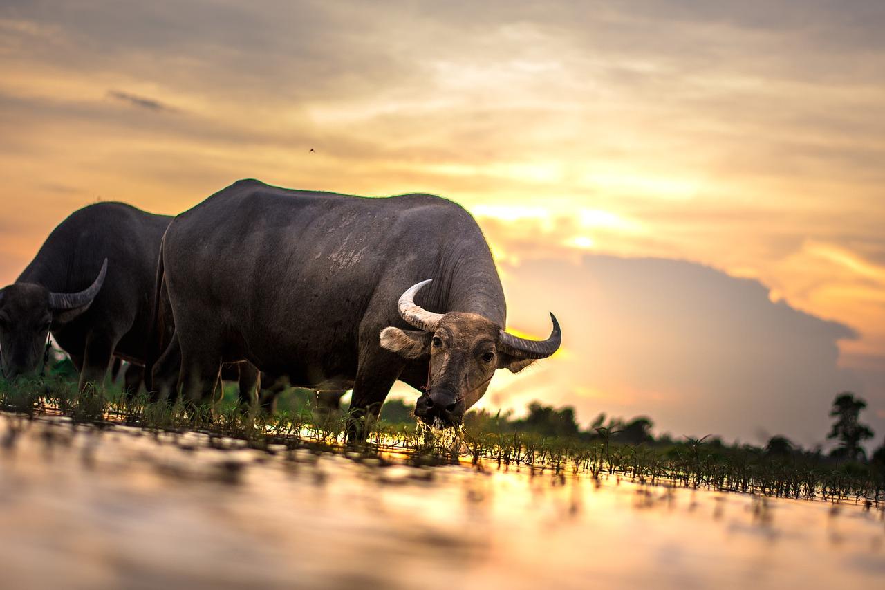 buffalo, outside of the house, thailand